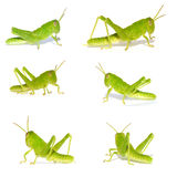 Cricket royalty free stock photos