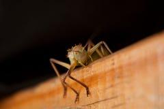 Cricket au sol africain Photo stock