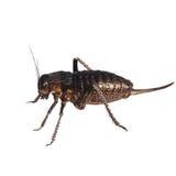 Cricket beetle isolated on white background, Bradyporus dasypus Stock Image