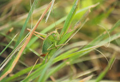 Cricket on a blade of grass Stock Photography