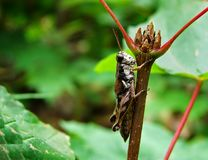 Cricket on branch Royalty Free Stock Photography