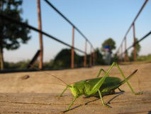 Cricket on the bridge Royalty Free Stock Photography