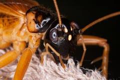 Cricket bug Stock Image