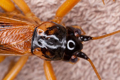Cricket bug Royalty Free Stock Photography