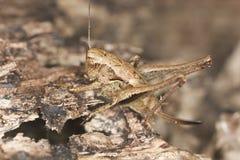 Cricket camouflaged on wood Stock Image