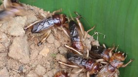 Cricket. A close up group of cricket on soil stock video