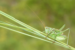 Cricket. The close-up of a male cricket imago on grass stem Stock Image