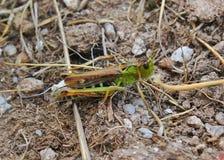 Cricket dans les montagnes Photo stock