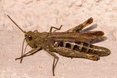 Cricket de Brown Images libres de droits
