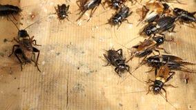 Cricket de champ, Gryllus Photographie stock
