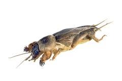 Cricket de taupe, Gryllotalpa australis Photos stock