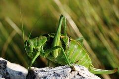 cricket de Verrue-biter Image stock
