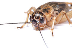 Cricket detail isolated. Detail of brown cricket isolated on white Stock Photography