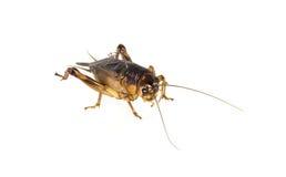 Cricket di Brown Fotografie Stock Libere da Diritti