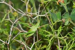 Cricket di Bush immagine stock