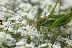 Cricket Insect Stock Photos
