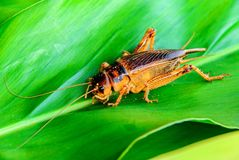 Cricket en nature Images libres de droits