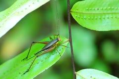 Cricket et feuille verte photographie stock
