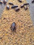 cricket farm royalty free stock photos