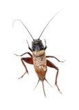 Cricket. Field cricket macro bug insect Stock Photography