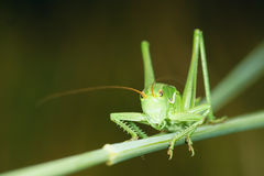 Cricket. The front close-up of green cricket Stock Images