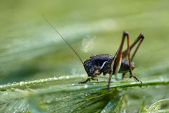 Cricket on a grass after rain Stock Image