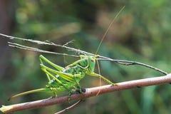 cricket green Royaltyfria Foton