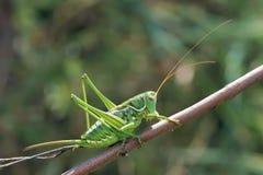 cricket green Royaltyfria Bilder