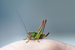 cricket green Royaltyfri Fotografi