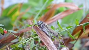 Cricket (grasshopper) on green grass, insect close Stock Photo