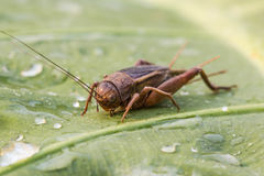 Cricket on green leaf Royalty Free Stock Photos