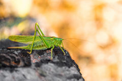 Cricket on a grey stone. Long Horned Grasshopper on grey stone Stock Photo