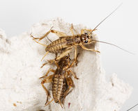 Cricket - Gryllus assimilis Royalty Free Stock Images
