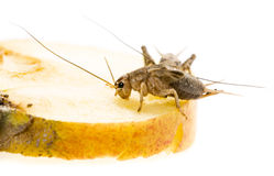 Cricket - Gryllus assimilis Royalty Free Stock Photography