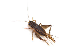 Cricket (Gryllus) Royalty Free Stock Photo