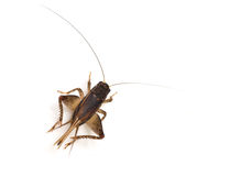 Cricket (Gryllus) Royalty Free Stock Photos