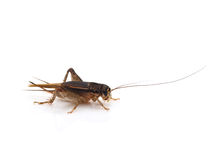 Cricket (Gryllus) Royalty Free Stock Image
