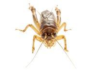 Cricket (Gryllus) på vit bakgrund Royaltyfri Foto