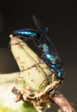 Cricket Hunter Wasp (Chlorion aerarium). A close-up view of a steel-blue cricket hunter wasp (Chlorion aerarium) in Organ Mountains National Monument, New Mexico Stock Image