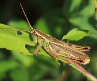 Cricket. I found this little guy hanging out on a branch Royalty Free Stock Photography