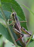 Cricket. I found this little guy hanging out on a branch Stock Photography