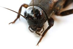 Cricket insect 1 royalty free stock images