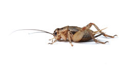 Cricket isolated. Brown cricket isolated on white Stock Photo