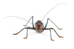 Cricket isolated on white Royalty Free Stock Photos