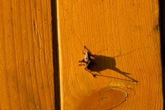 Cricket and its shadow on the surface of wood. In the light of the evening sun Stock Photo