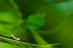 Cricket on Leaf Stock Photography