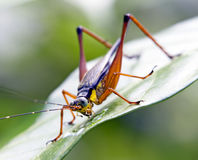 Cricket on a leaf Royalty Free Stock Images