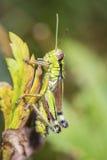 Cricket on a leaf Royalty Free Stock Photos