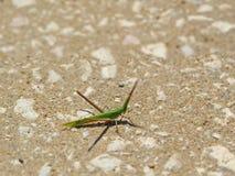Cricket mimicry as a straw. Black sea. Bulgaria. Summer adventures royalty free stock photo