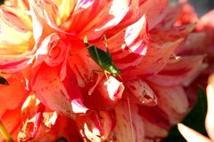 Cricket on a multicolor dahlia Royalty Free Stock Images
